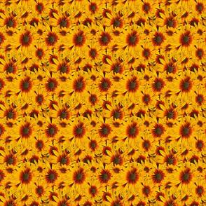 Bee Magnet Rubeckia