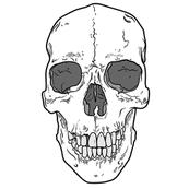 Human Skull - Large