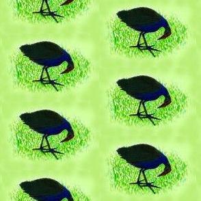 Swamp Hen-Pukeko