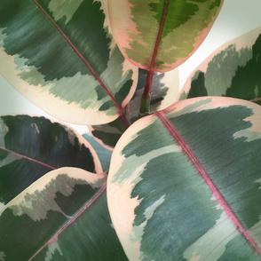 variegated fig