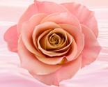 Rpink-rose_thumb