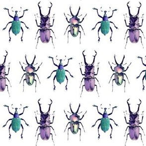 Staghorn Beetles