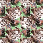 Endangered Siberian Tiger 6