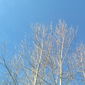 birch sky