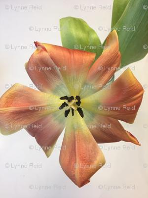 Rrrrrorange-tulip-bloomed-1_preview