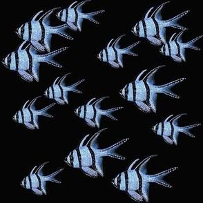 Banggai Cardinalfish Galore (black)