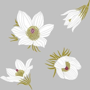 Arctic White Pasque flower N2 (grey)
