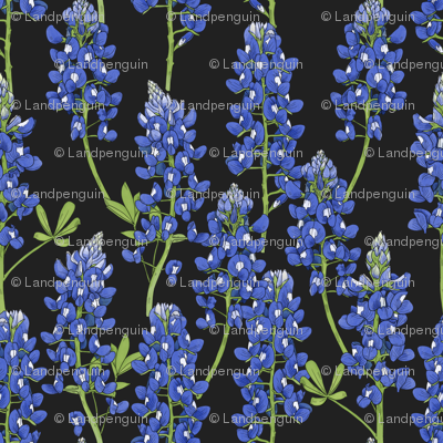Large Scale Texas Bluebonnet Botanical Illustration on Charcoal
