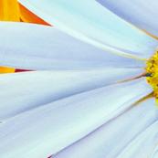 Rrrnz-daisies-gerberas_shop_thumb