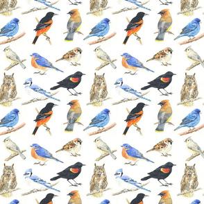 Rmassachusetts_birds_shop_thumb