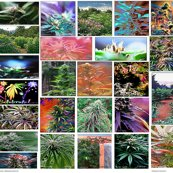Rrcamomoto420artcollection_shop_thumb