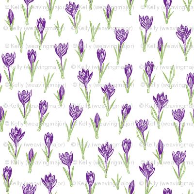dark bright purple crocuses