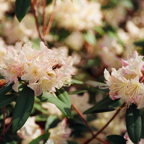 19880002BEEONRHODODENDRON