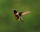 Rrrhummingbirdcrop2_thumb