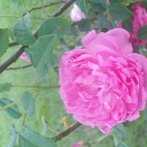 Summers 1st pink roses