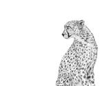 Rcheetah-zittend4-kopie_thumb