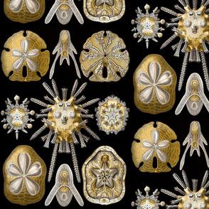 Ernst Haeckel Echinidea Sea Urchin