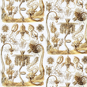 Ernst Haeckel Tubulariae Hydrozoa