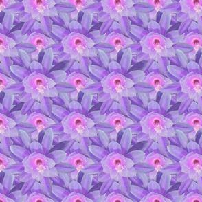 Cactus drama lila