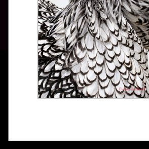 Silver Laced Wyandotte 2' x 3' Wallpaper Poster