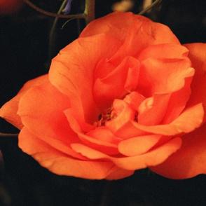 KRLGFP-ORANGE ROSE PLACEMATS