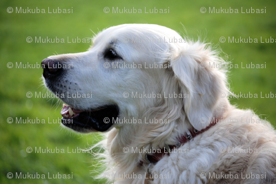 Rretriever-348572_preview
