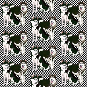 siberian huskies checkerboard