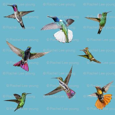 Multiple hummers Tobago blue