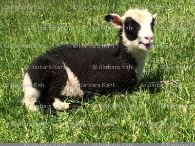 Lovey Lambs
