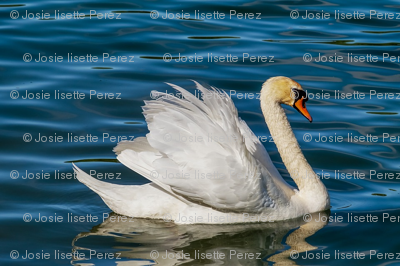 swan-3376622_960_720