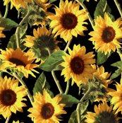 Rnew-sunflowers-on-black_shop_thumb