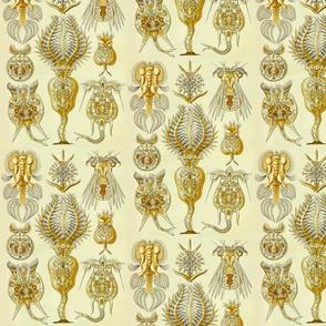 Ernst Haeckel Rotatoria