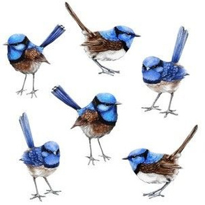 Blue Wrens Closer Together, White