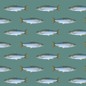 small coho salmon on slate blue