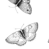 Rrbuck-eye-plus-black-and-white-butterflies_shop_thumb