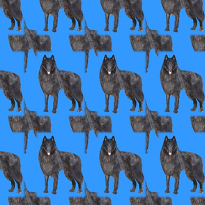 belgian sheepdog  shadow pattern