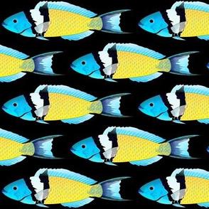 Bluehead Wrasse black background
