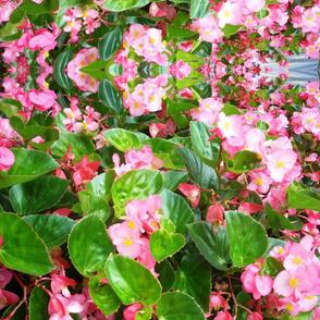 pink begonia best 7-2015 379