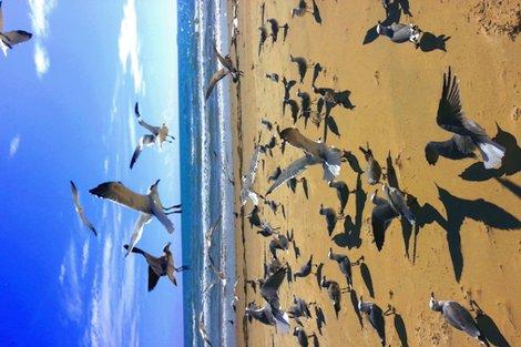 Rrrlaughing_gulls_tea_towel_2_shop_preview