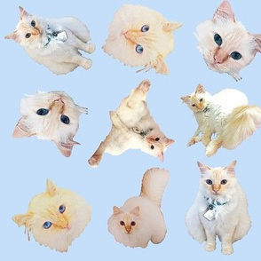 Flame Point Cats Galore