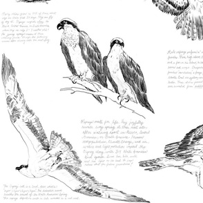 All About Ospreys