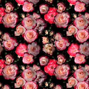 Pink Cream Ombre Roses on Black