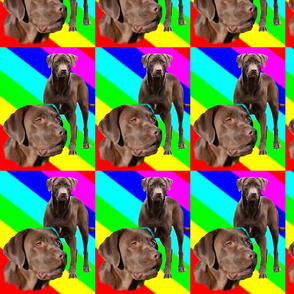 chocolate lab rainbow