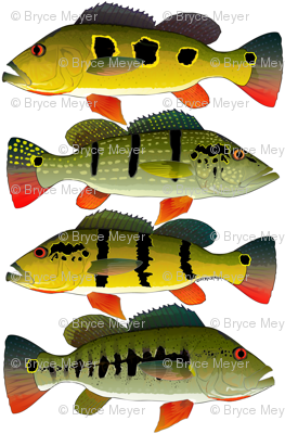 Four Peacock Bass (cluster)