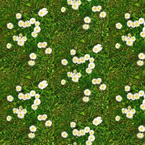 daisies on grass smaller