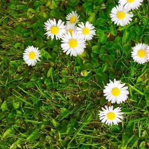 Daisies on Grass medium