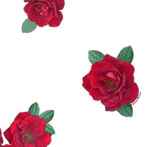 Crimson red rosebuds roses on white