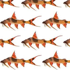 goonch  monster catfish