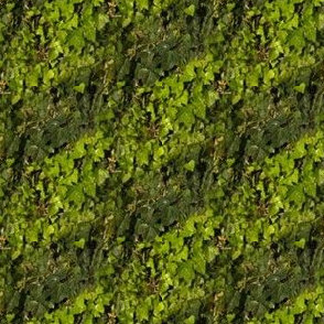 English Ivy Stripe | Garden Photo Print