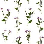 Chickweed willowherb dense